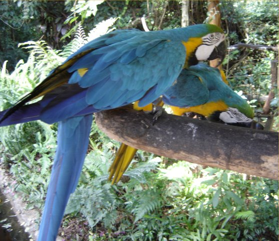 Macaws at Parque das Aves